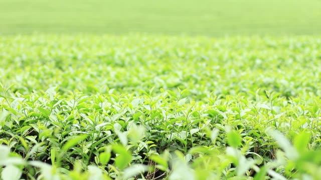 çay plantasyon içinde kırsal. - start stok videoları ve detay görüntü çekimi