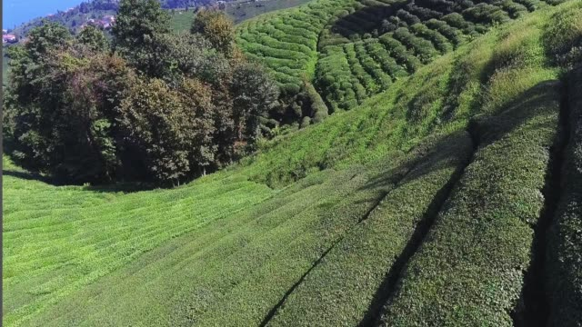 Tea Plantation Karadeniz Rize Tea Plantation Karadeniz Rize turkmenistan stock videos & royalty-free footage