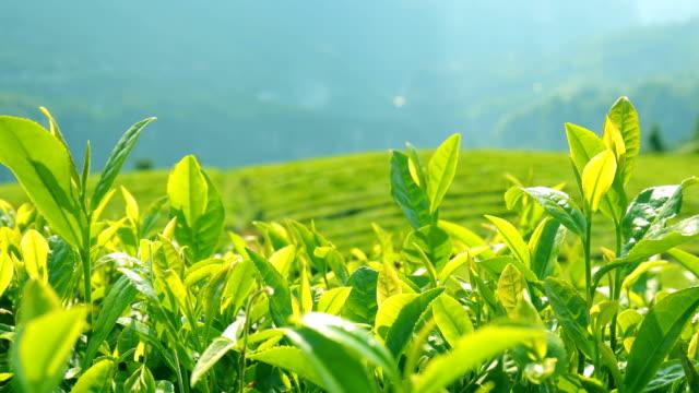 teeplantage - grüner tee stock-videos und b-roll-filmmaterial