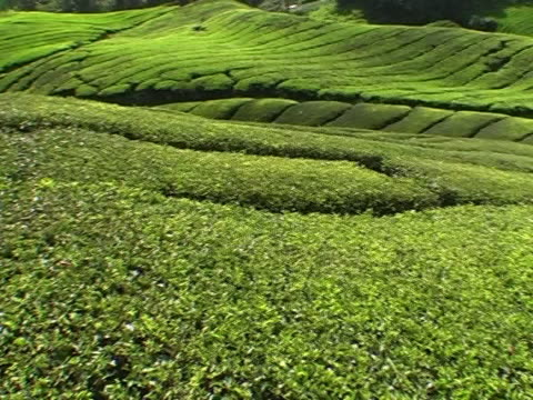 tea plantation - superfoods stock videos and b-roll footage
