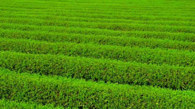 plantage  - grüner tee stock-videos und b-roll-filmmaterial