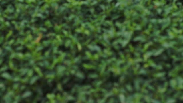 Tea Plantations. video