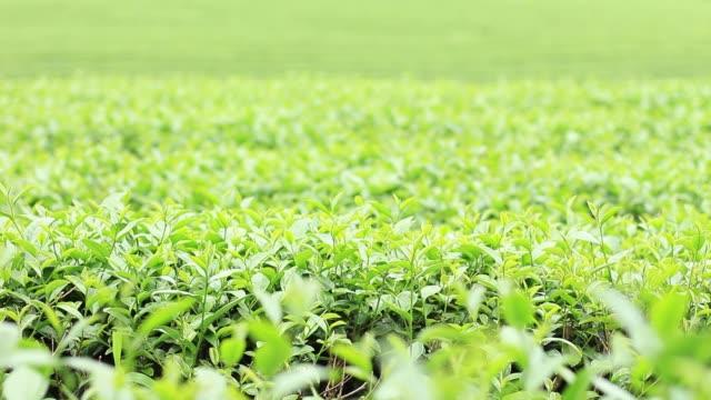 çay bitki tarım arazisi içinde. - start stok videoları ve detay görüntü çekimi