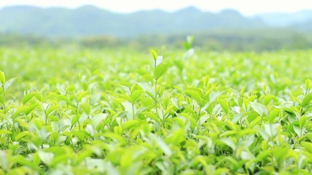 çay bitki doğal arka plan ile. - start stok videoları ve detay görüntü çekimi