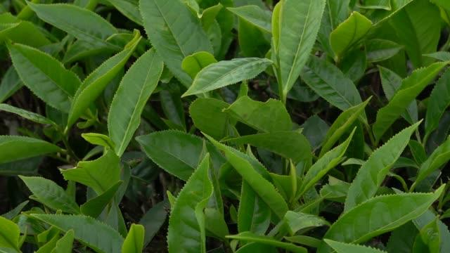 vidéos et rushes de plantation de thé, thé et cueillette - thé boisson chaude