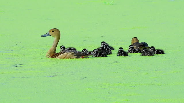Teal duck family Teal duck swimming in water duckweed stock videos & royalty-free footage