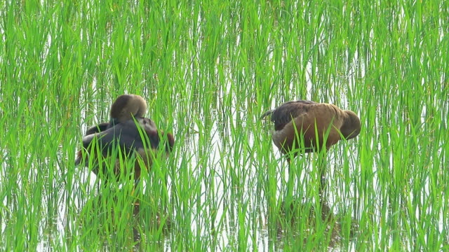 Teal duck in rice field Close-up teal duck cleaning feather in rice field wetland stock videos & royalty-free footage
