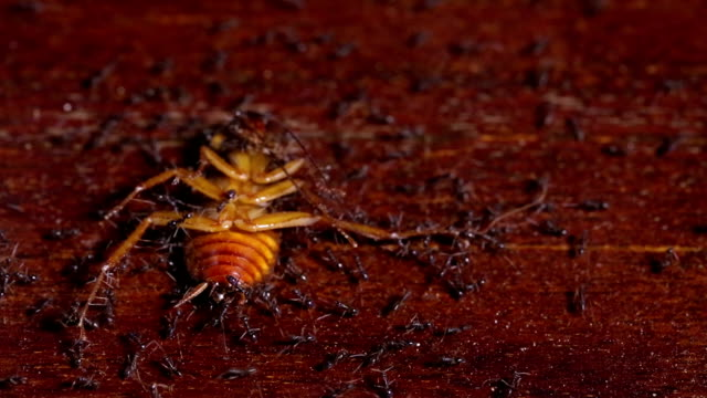 Team of Ants Carry Cockroach video