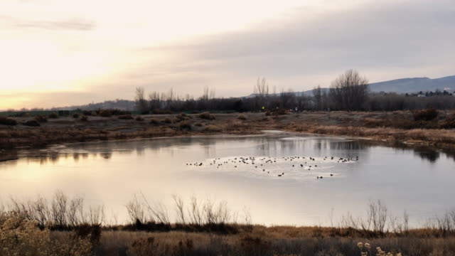 a team of ducks swim around a small pond in the high desert of western colorado in winter at sunset - утка водоплавающая птица стоковые видео и кадры b-roll