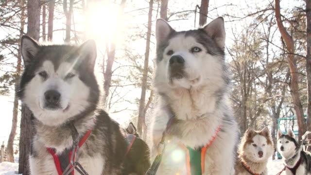 team av husky hundar i vinterlandskap innan loppet. - hunddjur bildbanksvideor och videomaterial från bakom kulisserna