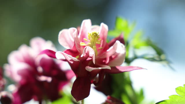 Tender pink aquilegia bells flowers on the sunny weather video