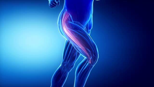 tensor-faszie latae bein muskeln anatomie anaimation - gliedmaßen körperteile stock-videos und b-roll-filmmaterial