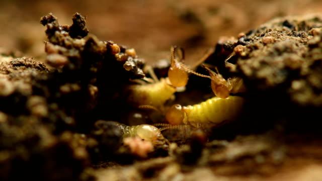 Termite building mound. video