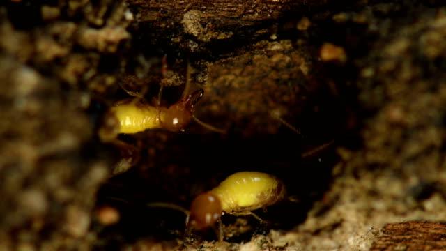Termite in Termite mound. video