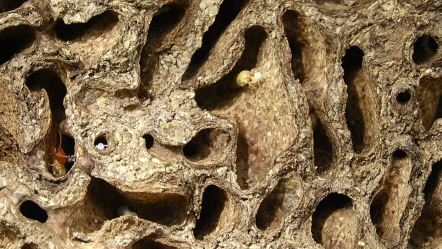 Termite in termite mound Close-up termite in termite mound isoptera videos stock videos & royalty-free footage