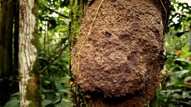 Termite nest on a tree trunk video