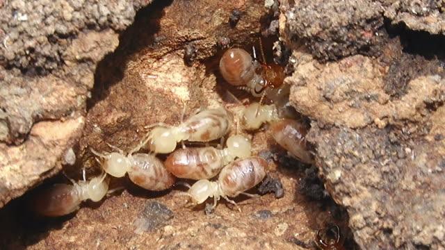 Termite walking in termite mound Group of termite walking in termite mound isoptera videos stock videos & royalty-free footage