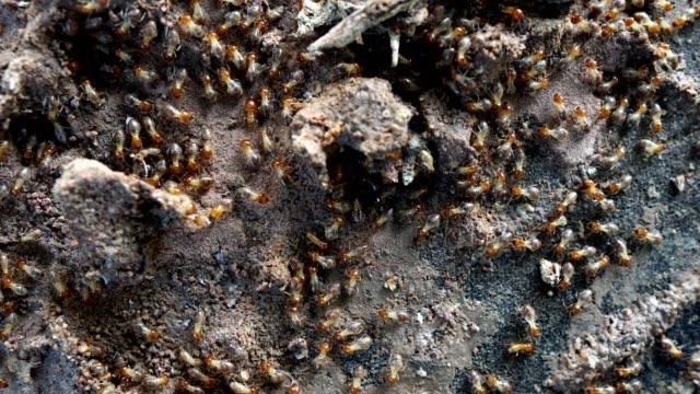 Termite walking on the wood Termite walking on the wood footage 4K isoptera videos stock videos & royalty-free footage