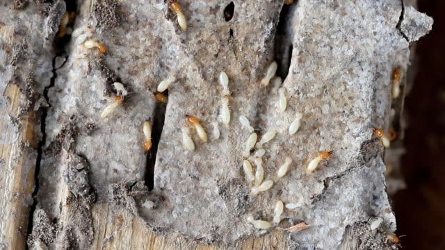 termites on a plank of wood. Macro of termites on a plank of wood. isoptera videos stock videos & royalty-free footage