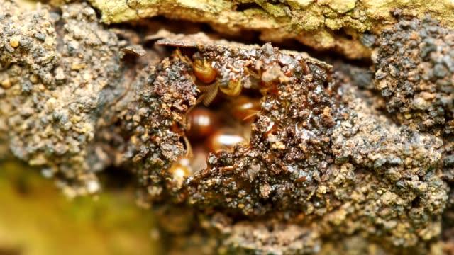 termiten arbeitnehmer einen tunnel zu reparieren. (zeitraffer) - nest stock-videos und b-roll-filmmaterial