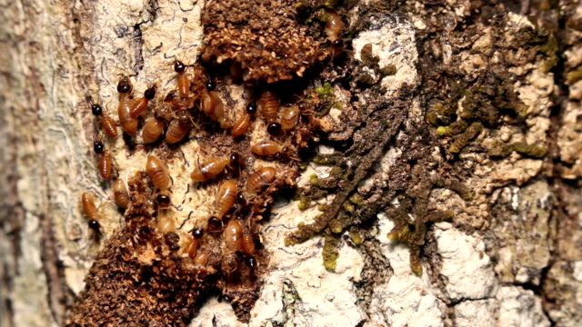 Termites workers running in tunnel on a tree trunk video