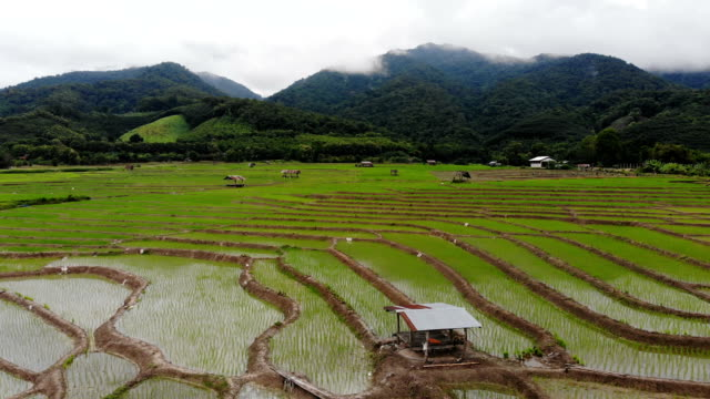 Terrace rice field aerial view in Nan,Thailand. Terrace rice field aerial view in Nan,Thailand. Rainy season. Shot from drone. banaue stock videos & royalty-free footage