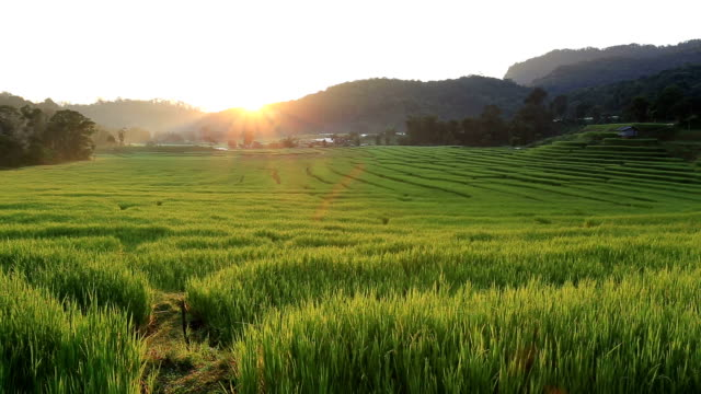 terrace rice fields of agriculture video