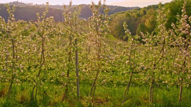 SLO MO Terraced apple orchard at sunrise video
