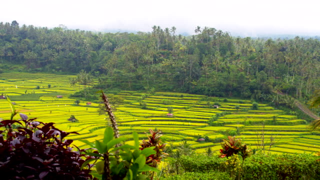 WS DS Terraced Rice Farms In Bali video