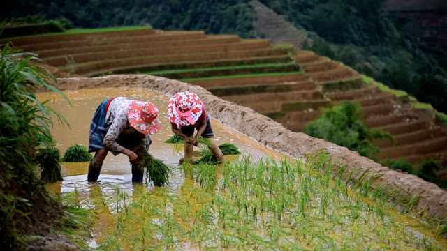 terraced rice field in Mu Chang Chai, Vietnam farmers workin on terraced rice field in Mu Chang Chai, Vietnam sa pa stock videos & royalty-free footage