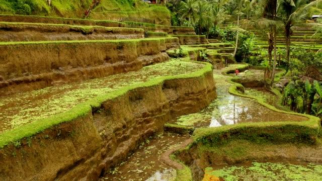 terraced rice fields, bali, indonesia - taras ryżowy filmów i materiałów b-roll
