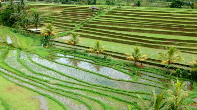 Terraced Rice Fields, Bali, Indonesia video