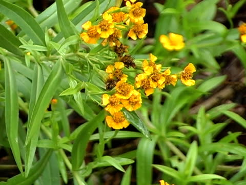 terragon herb video