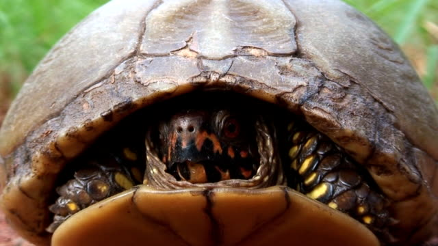 Terrapene Turtle A video captured in Oklahoma. animal shell stock videos & royalty-free footage
