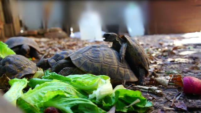 terrestrial turtles in nature video