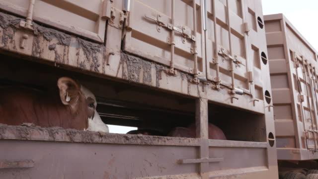 vídeos de stock e filmes b-roll de terrified look in a cows eye being transported on a truck to an abattoir - gado animal doméstico
