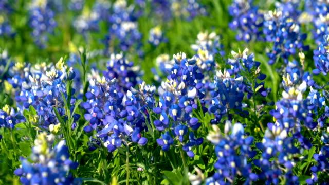 Texas Bluebonnets blowing in the wind