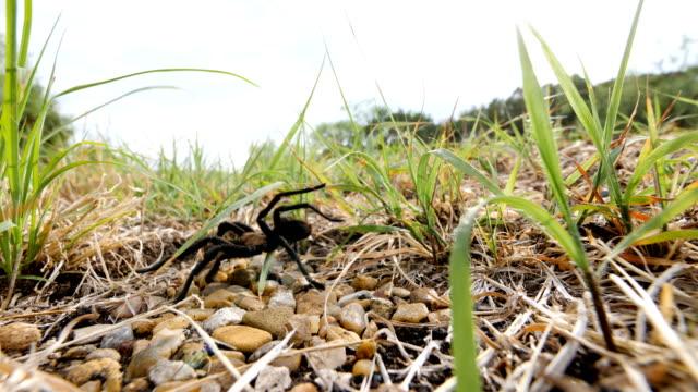 stockvideo's en b-roll-footage met texas brown tarantula kruising een weg - arizona highway signs