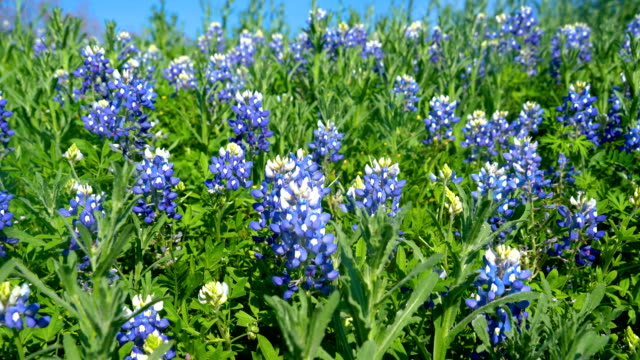 Texas Hill Country bluebonnets during spring time sunshine