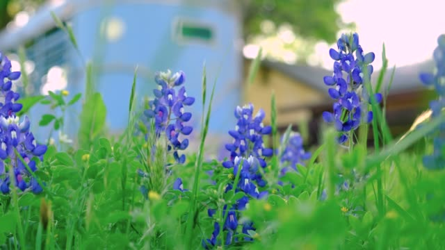 Texas Hill Country Bluebonnets (Lupinus Texasnsis) moving in the breeze with house and blue horse trailer in the background. Texas ranch scene during spring