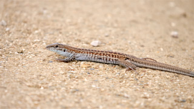 Texas spotted whiptail, Guadalupe Mountains National Park