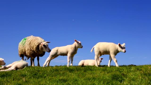 texel 羊島での texel 、オランダ - 土手点の映像素材/bロール