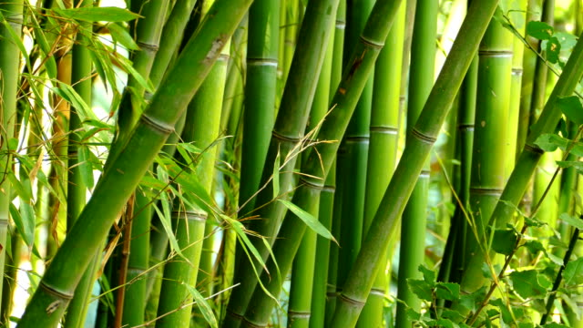 texture - bamboo thickets video