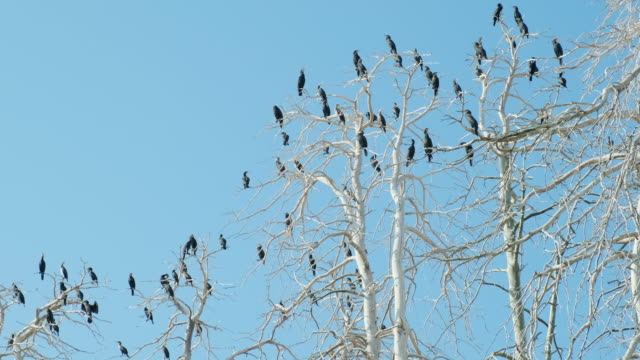 Texture of crown of trees with bare branches and black cormorants sitting on them against blue sky from top to bottom turn slide. Flock of birds sitting in trees. Cormorant flies in sky. Wildlife