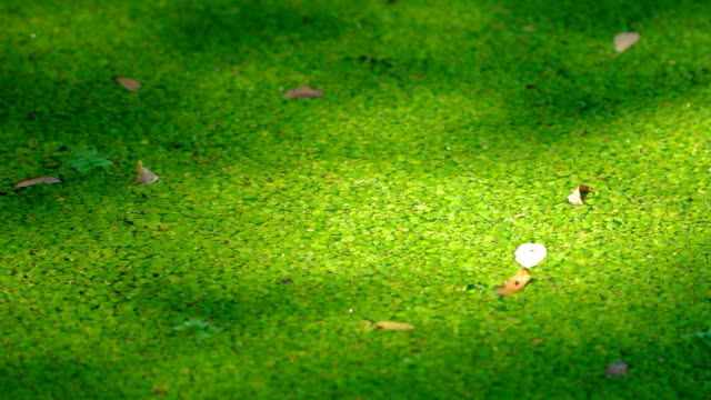 texture of duckweed on the surface of the water closeup the green marsh duckweed texture background duckweed stock videos & royalty-free footage