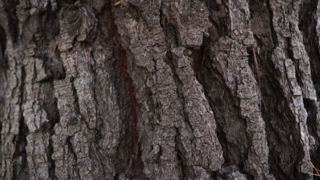 Texture of the bark of an old conifer with fallen needles in the cracks Texture of the bark of an old conifer with fallen needles in the cracks. Camera Up plant bark stock videos & royalty-free footage