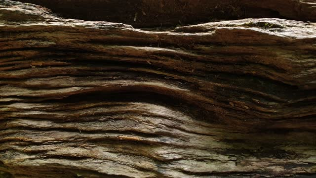 Texture of timber in tropical rainforest.