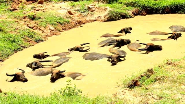 Thai buffalos swimming in pond