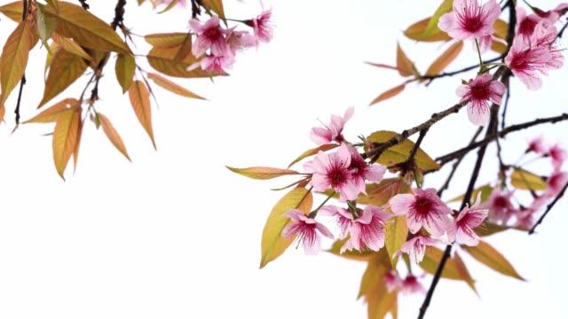 thai cherry blossom tiger - parte della pianta video stock e b–roll