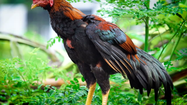 Thai chickens are cleaning their wings in the morning after rain on the timber in the morning. video